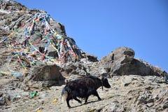 El yac salvaje camina a través de la meseta tibetana imágenes de archivo libres de regalías