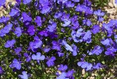 El zafiro azul del Lobelia que se arrastra florece o afilando el Lobelia, Lobelia del jardín en foto de St Gallen, Suiza Su nombr fotografía de archivo