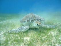 El zambullirse con las tortugas fotos de archivo libres de regalías