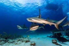 El zambullirse con muchos tiburones del filón todo alrededor y alimentación fotografía de archivo libre de regalías