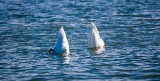 El zambullirse de dos cisnes Fotografía de archivo