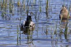 El zambullirse de los patos Imagen de archivo libre de regalías
