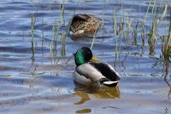 El zambullirse de los patos Foto de archivo libre de regalías
