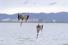 El zambullirse de los pelícanos de la fauna Imagen de archivo libre de regalías