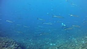 El zambullirse en escuela de las barracudas de Mallorca España bajo el agua - metrajes
