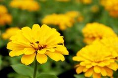 El zinnia del amarillo del foco ascendente y selectivo del cierre florece Imagenes de archivo