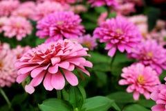 El Zinnia rosado hermoso Elegans florece en fondo maravilloso de las flores Imagen de archivo