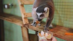 El zoo-granja del lémur selecciona verduras de una taza, que le da la muchacha almacen de video