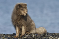 El zorro ártico azul del comandante que se sienta en la playa Foto de archivo libre de regalías