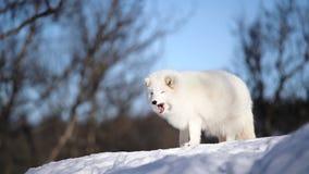 El zorro ártico almacen de metraje de vídeo