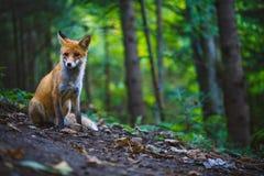 El zorro Fotografía de archivo libre de regalías