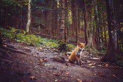 El zorro Imagenes de archivo