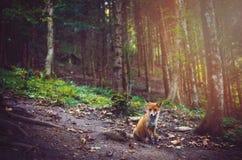 El zorro Fotos de archivo libres de regalías