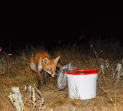 El zorro en la noche está buscando la comida El zorro está al lado de un blanco fotos de archivo libres de regalías