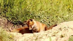 El zorro rojo juguetón pare intentar coger una mosca metrajes