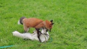 El zorro rojo y veteado en correos juega alegre en un césped verde almacen de metraje de vídeo