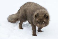 El zorro ártico azul del comandante que se coloca Fotos de archivo libres de regalías