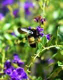 El zumbido inepto manosea abejas Foto de archivo