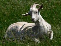Ela-cabra agradável Fotografia de Stock Royalty Free