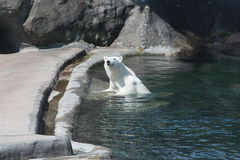 Ela-urso Nika no jardim zoológico de Moscou foto de stock