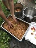 Elaborazione delle mele per produzione del succo immagini stock libere da diritti