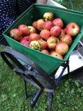 Elaborazione delle mele per produzione del succo immagini stock