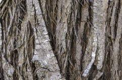 Elaeagnus angustifolia. Bark tree of Paradise. Stock Photos