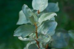 Elaeagnus argentea Royalty Free Stock Photography