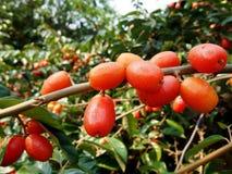 Elaeagnus latifolia-Red fruit. Silverberry-Elaeagnus latifolia-Red fruit Royalty Free Stock Images