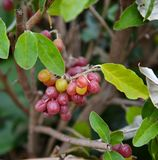 Elaeagnus multiflora fruits stock image