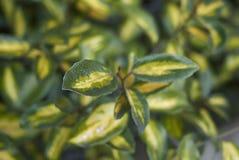 Elaeagnus pungens liści zamknięty up fotografia stock
