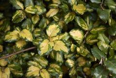 Elaeagnus pungens maculata variegated leaves stock image