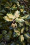 Elaeagnus pungens maculata variegated leaves stock photos