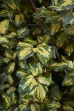 Elaeagnus pungens maculata variegated leaves royalty free stock photography