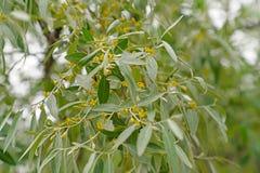Elaeagnuscommutata, den silverberry eller varg-villor gränsen - grönt l royaltyfri fotografi