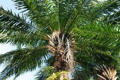 Elaeis guineensis φοινικών - Arecaceae Στοκ Εικόνα