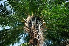 Elaeis guineensis φοινικών - Arecaceae Στοκ φωτογραφία με δικαίωμα ελεύθερης χρήσης