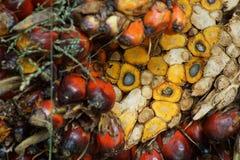 Elaeis guineensis Images libres de droits