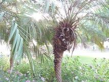 ELAEIS GUINEENSIS /AFRICAN NAFCIANA palma zdjęcie stock