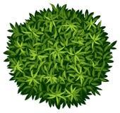 A Elaeocarpus Decipiens Royalty Free Stock Image