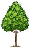 A Elaeocarpus Decipiens plant Royalty Free Stock Images