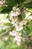 Elaeocarpus grandiflorus sm Kwiaty Obraz Stock