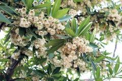 Elaeocarpus grandiflorus sm Kwiaty Zdjęcia Stock