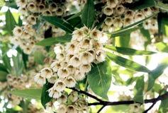 Elaeocarpus grandiflorus sm Kwiaty Obrazy Stock