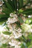 Elaeocarpus grandiflorus sm Kwiaty Zdjęcie Royalty Free
