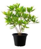 Elaeocarpus grandiflorus, Zielonej liść drzewnej rośliny świeża natura zdjęcia royalty free