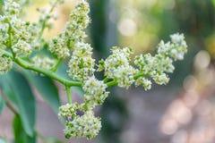 Elaeocarpus kwiat obrazy stock