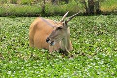 Elan Antelope Stockfotos