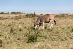 Elanantelope Zdjęcie Stock