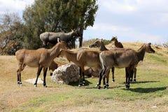 Eland羚羊 图库摄影